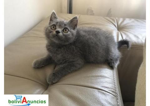 2 muchachos disponibles gatos británicos reales de Shorthair británicos.