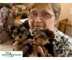 CACHORROS TOY , DE YORKSHIRE TERRIER,
