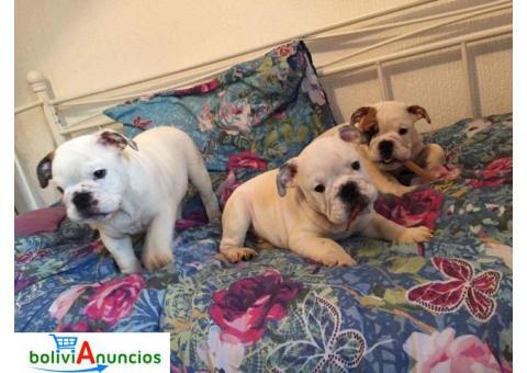 3 cachorros Bulldog Inglés para la liberación urgente. (Adopción)