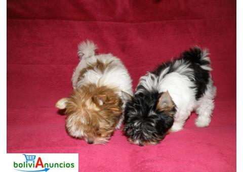 Yorkie Terrier cachorros en adopción?