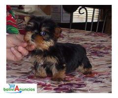 Yorkies Terrier cachorros para la adopción