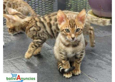 Preciosos gatitos Savannah de 12 semanas de edad